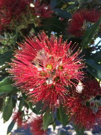 Pohutukawa Tree- New Zealand traditional Christmas tree